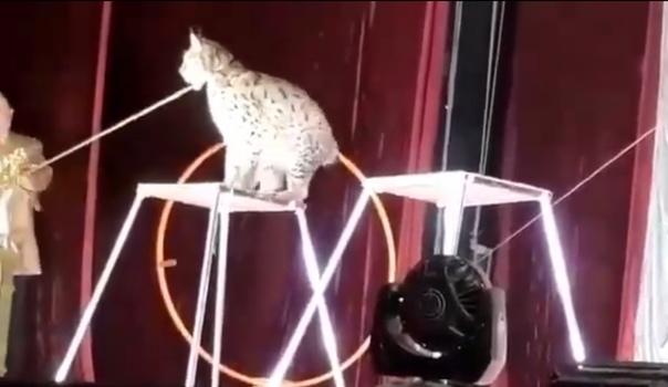 В цирке Цхинвале рысь набросилась на дрессировщика. ВИДЕО